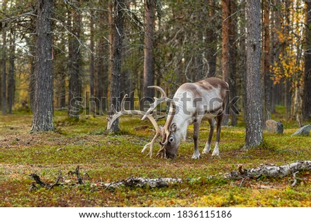 Wild reindeer grazing in pine forest in Lapland at autumn, Northern Finland. Beautiful male deer portrait Stock photo ©