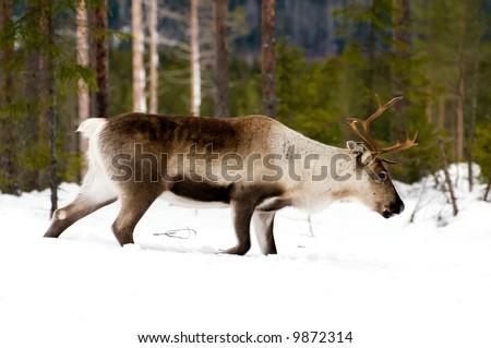 wild reindeer in its natural habitat in the north of Sweden - stock photo