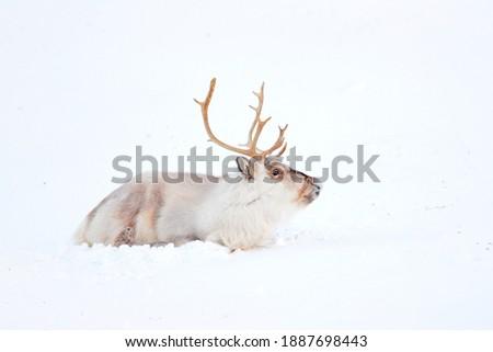 Wild Reindeer, Rangifer tarandus, with massive antlers in snow, Svalbard, Norway. Svalbard caribou, wildlife scene from nature, winter in the Actic. Winter landscape with reindeer.