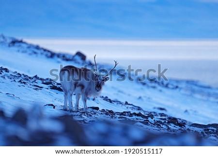 Wild Reindeer, Rangifer tarandus, with massive antlers in snow, Svalbard, Norway. Svalbard caribou, wildlife scene from nature, winter in the Arctic. Winter landscape with reindeer. Arctic wildlife.