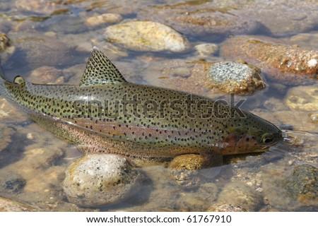 Wild Rocky Mountain rainbow trout