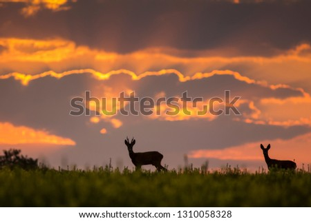 Wild roe deer (capreolus capreolus) during amazing sunrise in wild nature, in rut time, silhouette Picture, wildlife photography of animals in natural environment, protect animals, hunting, hunters