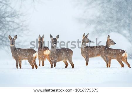Stock Photo Wild roe deer herd in a snowfall