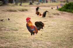 Wild roosters and chickens on a beach in Kauai.