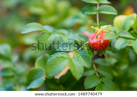Wild rose berries. Dogrose berries on a branch. Red berry with a drop of dew. #1489740479
