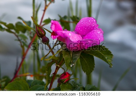Wild Rose by River