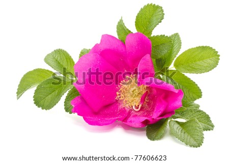 wild rose flower on a white background