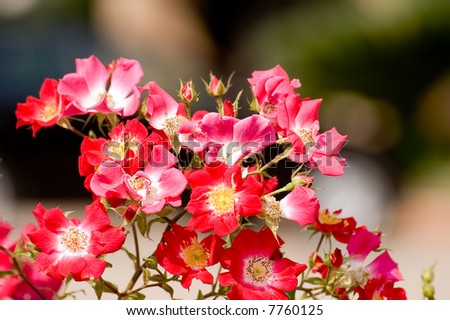 background images flowers. rose flower wallpaper