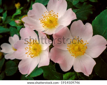 Wild rose hip flower (rosehip) briar or dogrose branch with leaf. Rose hip flowers and leaf closeup macro. Bush of rosehip briar in garden - healthy rose hip wild flower. Dogrose shrub organic briar Stock photo ©