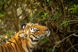Wild royal bengal tiger closeup or portrait in natural green background in terai region forest at dhikala zone of jim corbett national park or tiger reserve uttarakhand india - panthera tigris tigris