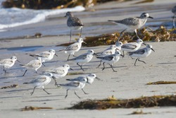 Wild sanderlings feeding on the coast of Santa Rosa Island in Channel Islands National Park (California).