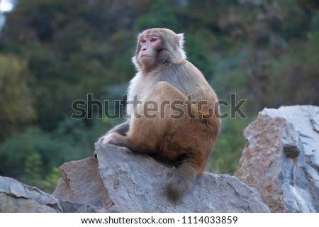 Wild Scenic Macaque Monkey Primate - Shutterstock ID 1114033859