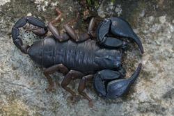 wild scorpion: female Euscorpius italicus