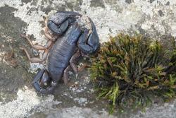 wild scorpion: male Euscorpius italicus and moss