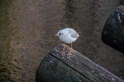 Wild seagull standing on a tree, seagull portrait on tree