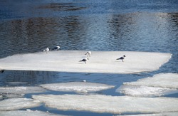 Wild seagulls sit on an ice floes floating in cold blue open water in bright sunny spring day horizontal view