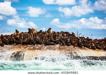 Wild seals colony on the stony island, great sea animals, beautiful landscape of Atlantic ocean, extreme safari tourism, Hout Bay Seal Island, beauty of South Africa