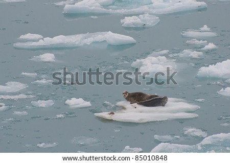 Wild seals resting on floating iceberg on sea.