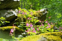 Wild seasonal vegetation with violet colour and magenta. Flourish scent in springtime on the balkan at Bulgaria. Blossoming forest with dense grass. Mossy rock and grassy.