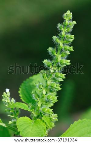 wild sesame seed flower
