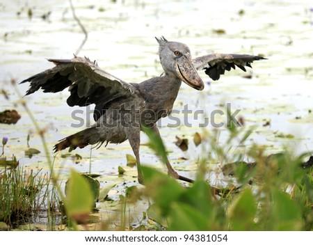 Wild Shoebill in natiral habitat - Lake Opeta, Uganda, Africa