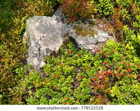 Stock Photo wild short lingonberry shrubs with ripe berries