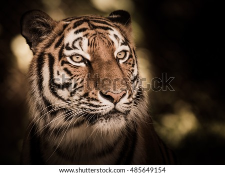 Wild siberian tiger (Panthera tigris altaica) in the jungle - Shutterstock ID 485649154