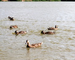 wild small ducks on the territory of lakes, spring season with wild birds ducks, wild ducks in the natural environment