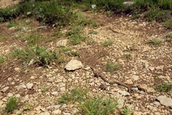 Wild snake on the ground among small stones and grass (weed) in nature. Animal (reptile) in the environment. Texture and background.