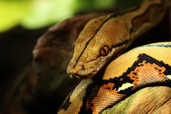 Wild snake 'Python' beautiful reptile. Selective focus and toned image.