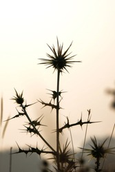 wild spherical thorn plant, Maharashtra, India