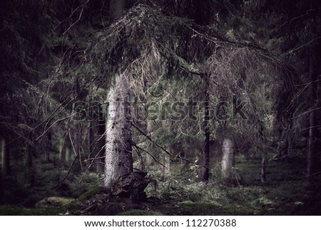 Wild spooky dark forest with old spruce trees