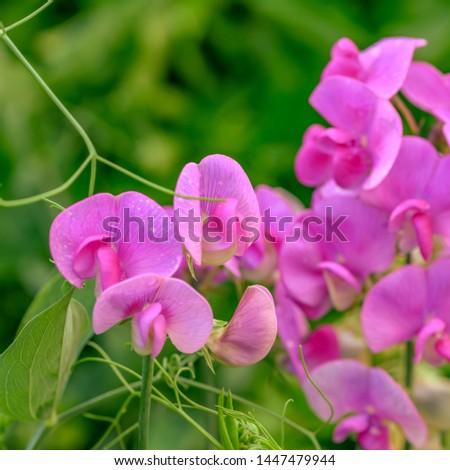 Wild sprawling pink vetch (Vicia) in a garden.