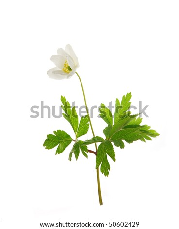 Wild spring Anemone, isolated on white background