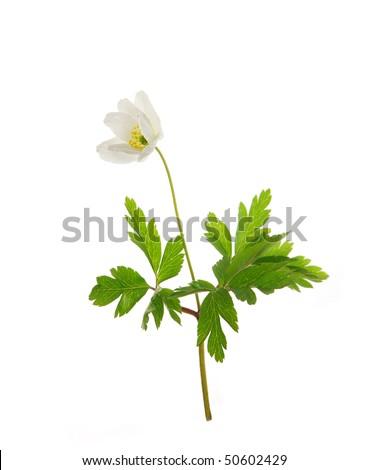 Wild spring Anemone, isolated on white background