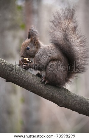 Wild squirrel eating walnut over a branch