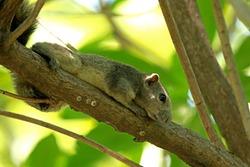 Wild squirrel on a branch, Thailand