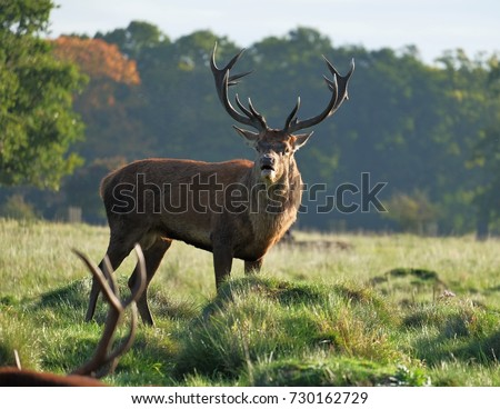wild stag #730162729