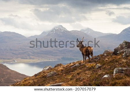 Wild stag overlooking Loch Torridon and the dramatic Wester Ross mountain range, Scotland #207057079