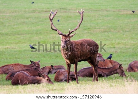 wild stag red deer guarding roe females in field during mating season