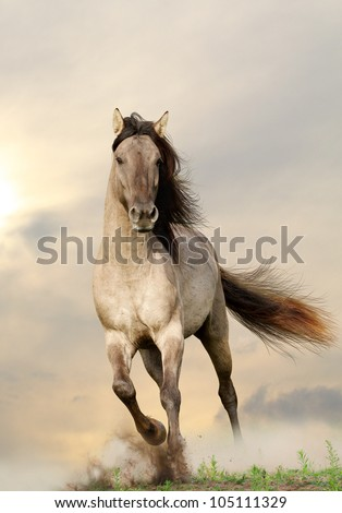 wild stallion running in sunset