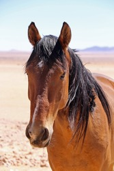 Wild straving horses of Aus. Namibia. Descendants from horses escaped from SA Cavalry during first World War