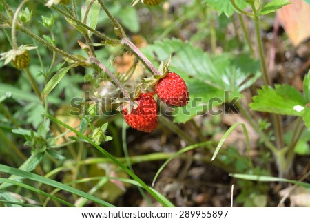 wild strawberries grows in the forest #289955897