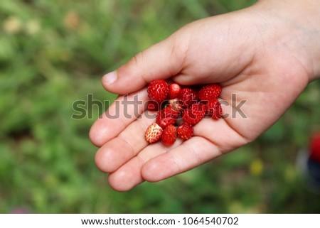 Wild strawberries in hand. Forest strawberry in the palm. Fresh strawberries in the hands of a child #1064540702