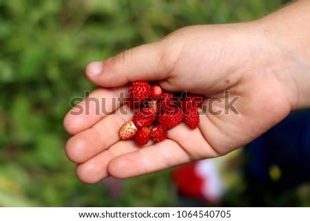 Wild strawberries in hand. Forest strawberry in the palm. Fresh strawberries in the hands of a child #1064540705