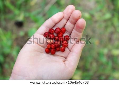Wild strawberries in hand. Forest strawberry in the palm. Fresh strawberries in the hands of a child #1064540708