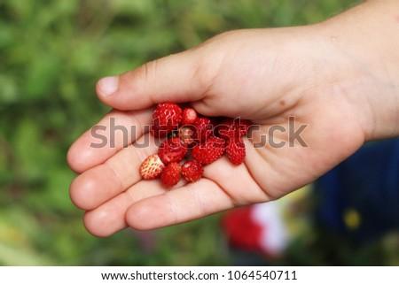 Wild strawberries in hand. Forest strawberry in the palm. Fresh strawberries in the hands of a child #1064540711