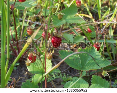 Wild strawberry in a wild nature