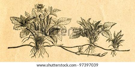 Wild strawberry - old illustration by unknown artist from Botanika Szkolna na Klasy Nizsze, author Jozef Rostafinski, published by W.L. Anczyc, Krakow and Warsaw, 1911