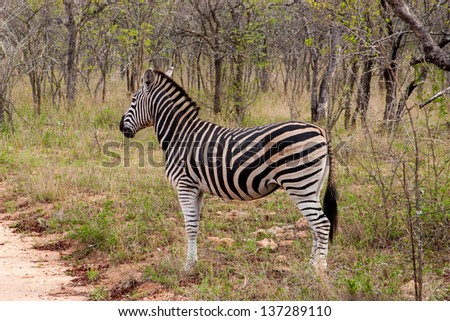 Wild striped zebra  in national Kruger Park in South Africa,natural themed collection background, beautiful nature of South Africa, wildlife adventure and travel